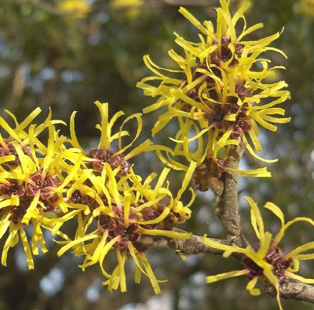 Natural Relief For Hemorrhoids Pain Witch Hazel