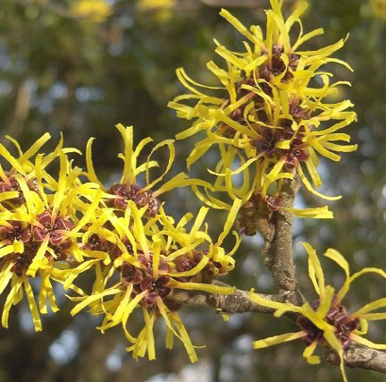 Best Witch Hazel Extract Products For Hemorrhoids Treatment
