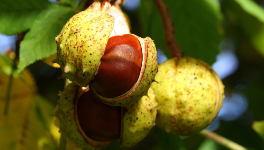 best horse chestnut seed extract product for hemorrhoids treatment