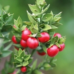 herbs for hemorrhoids treatment Ruscus Aculeatus Butchers Broom